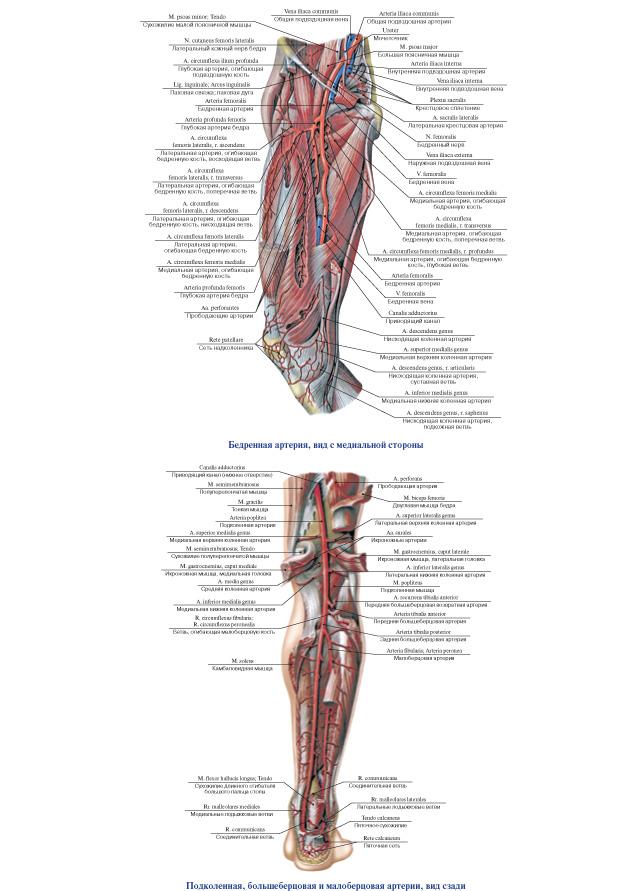 Магистральные сосуды нижних конечностей картинки